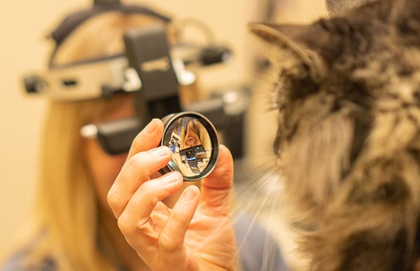 cat getting eye exam