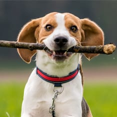 dog holding a stick