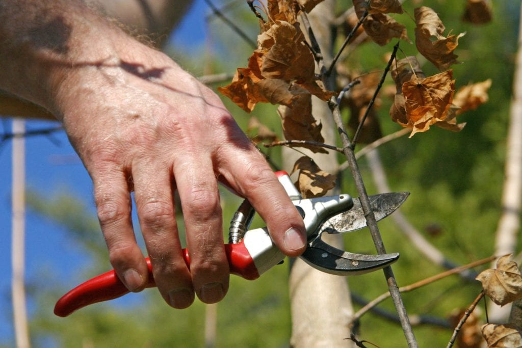 pruning a tree upclose