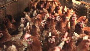 cage-free layer hens